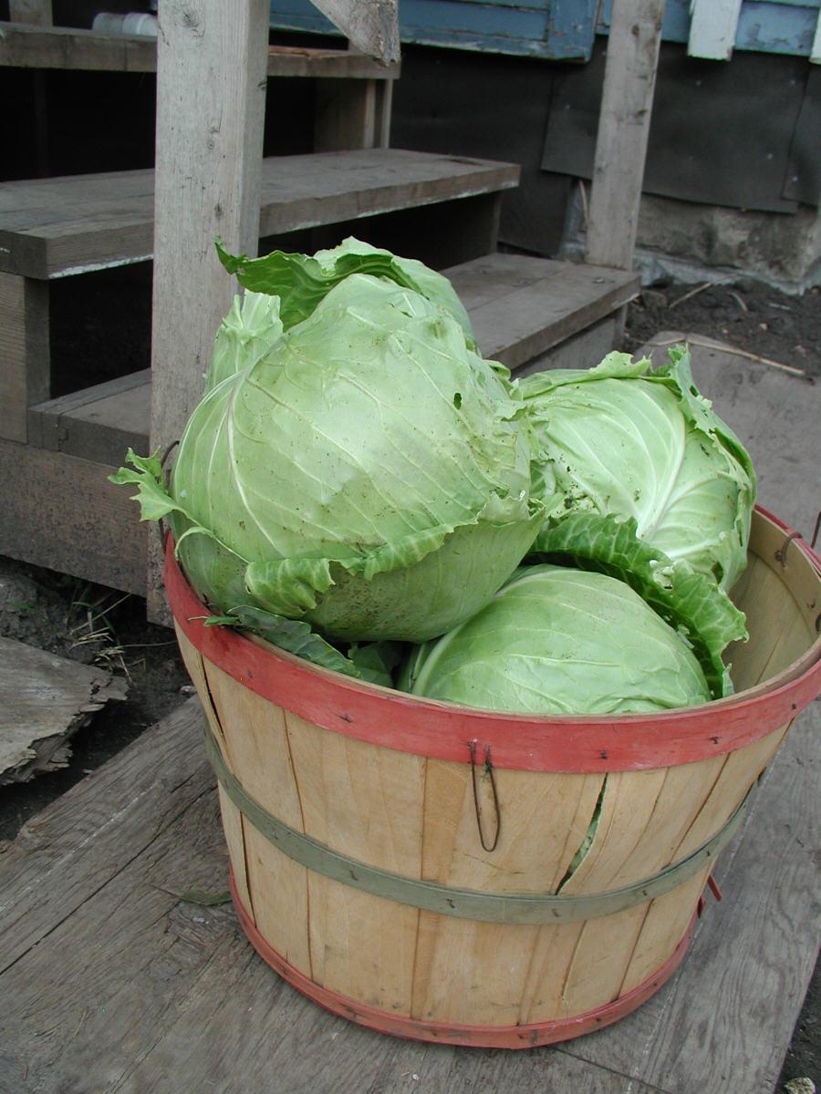 تصویر  دانلود مقاله کلم پيچ Cabbage